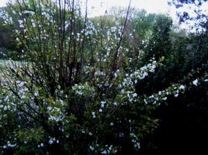 Cherry Tree Dawn