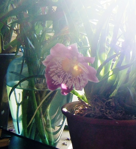 Light through Shauna Orchid