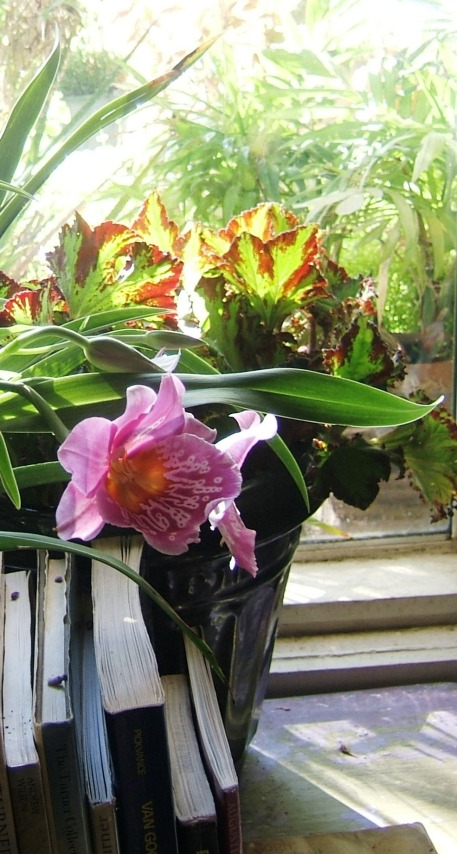 River Nile Begonia, Shauna Orchid, Window