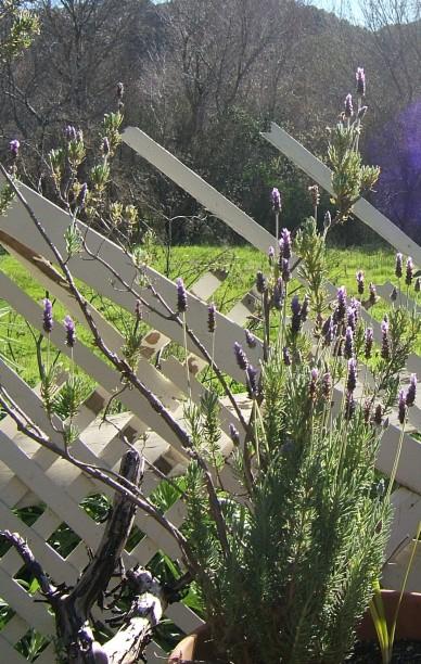 Lavender, 2